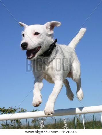 Jumping Terrier