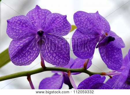 Blue White Vanda Orchid Flower
