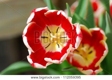 Red White Tulip Flower