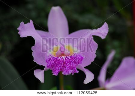 Pink Yellow Cattleya Orchid Flower