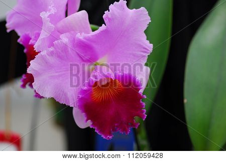 Cattleya Pink Yellow Orchid Flower