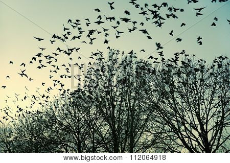 Jackdaws Flying To Their  Collective Sleeping Place, The Netherlands