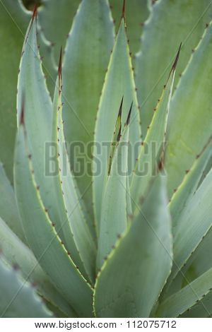 Agave Cactus (abstract)