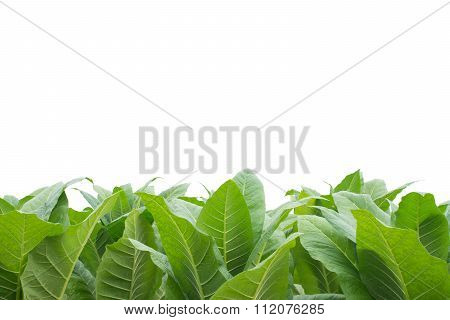 Green Tobacco Field With White Background.