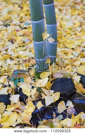 Falling yellow Ginko leaves around bamboo tree in autumn