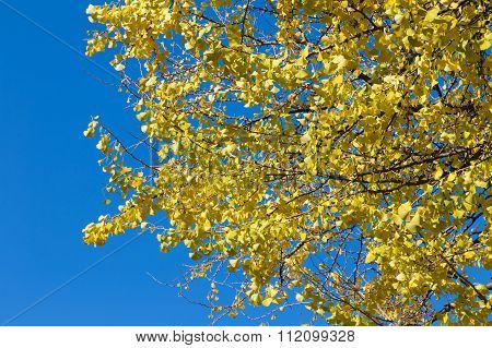 Yellow Ginko leaves with clear blue sky in autumn