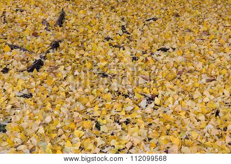Pathway ground covered with yellow ginko leaves in autumn