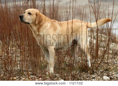 Working Labrador Retriever