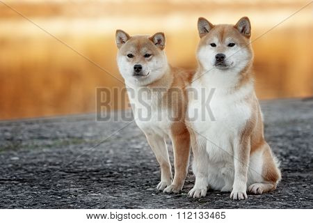 two shiba-inu dog in park