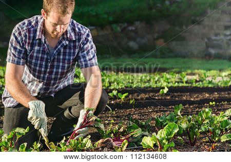 Farmer planting harvesting organic vegetables in the urban farm garden on a sunny day
