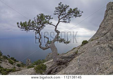 Pine On A Rock Against The Gray Sky. Crimea.