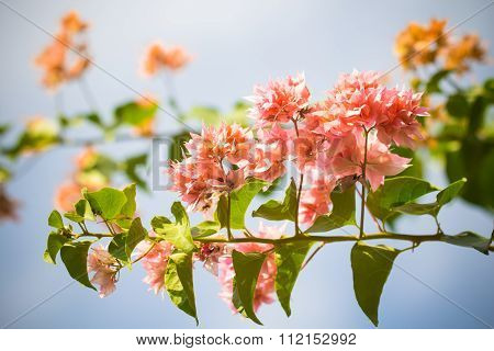 selective focus of Bougainvillea flowers with filter color poster