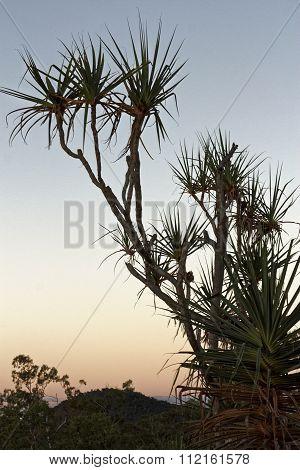 Pandanus Trees In The Sunset C