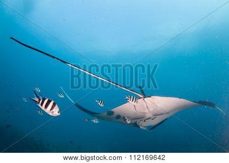 A tail shot of a manta ray