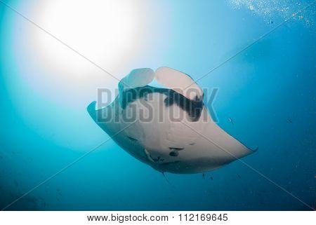 A close up of a manta ray