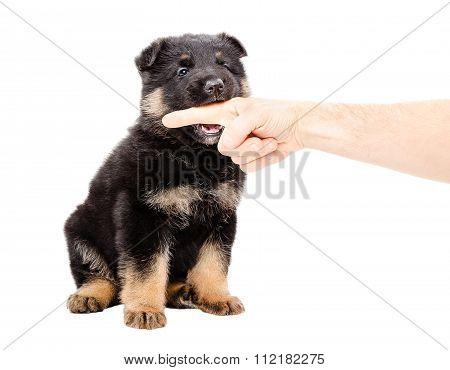 German Shepherd puppy biting the finger of a man