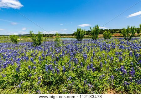Wide Angle View Of Famous Texas Bluebonnet Wildflowers Near The Colorado River