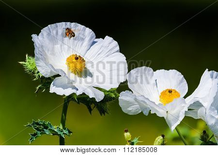 Closeup Of A Flying Honey Bee On A White Prickly Poppy Wildflower Blossom In Texas