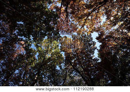 Autumn Sky Through Golden-leaved Trees