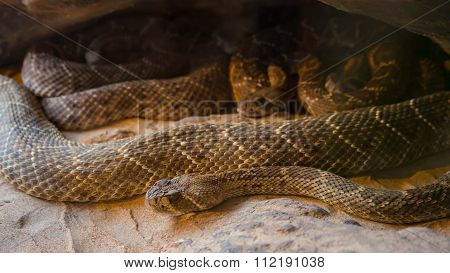 Rattlesnake, Crotalus atrox