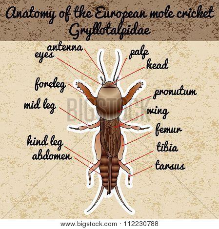 Anatomy of the European mole cricket