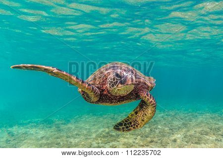 An endangered Hawaiian Green Sea Turtle cruises in the warm waters of the Pacific Ocean poster