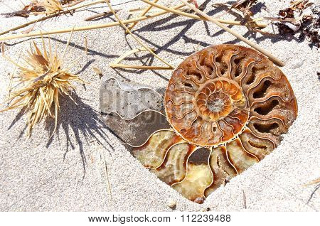 Ammonite Fossil Shell