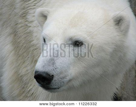 Head of polar bear turned to the right