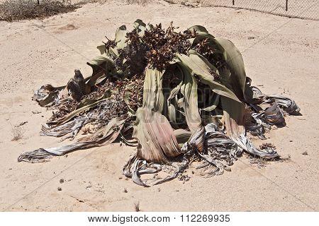 Welwitschia mirabilis, Namibia
