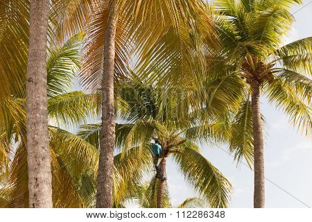 Strong Deft  Man Picking Coconut In Guadeloupe