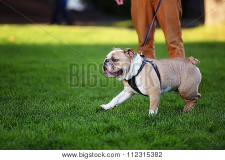 Male bulldog runs on a leash on green grass
