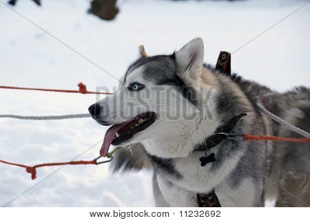 Two Siberian Husky Dogs - Standing In The Snow