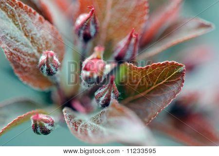 Crabapple Flower Bud