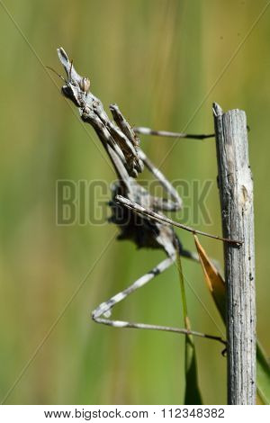A mantis in the family Empusidae on a plant stem in hills near Baku, capital of Azerbaijan poster