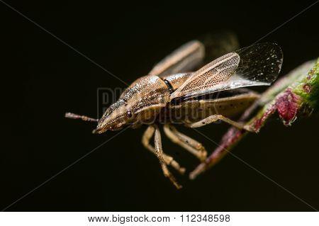 Bishop's mitre (Aelia acuminata) moments before take off