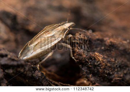 Bishop's mitre shieldbug (Aelia acuminata)