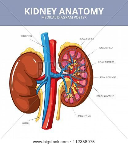 Kidney medical vector diagram poster