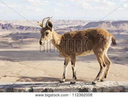 Nubian Ibex (capra Nubiana). Ramon Crater. Negev Desert. Israel