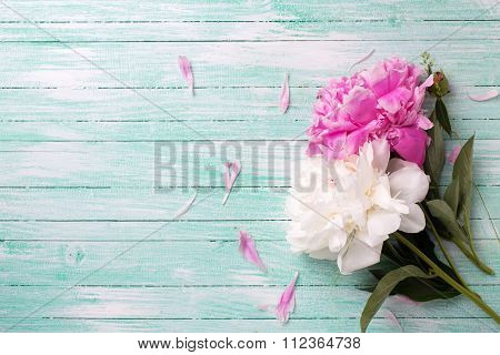 Splendid White And Pink Peonies Flowers On Turquoise Painted Wooden Planks.