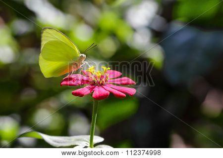 The Lemon Emigrant Butterfly On Flower