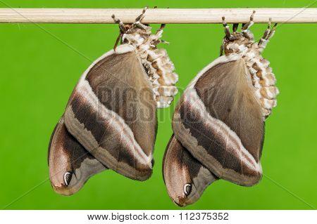 Eri silk moth ( samia cynthia )