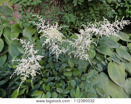 White apical inflorescence Astilbe, family saxifrage