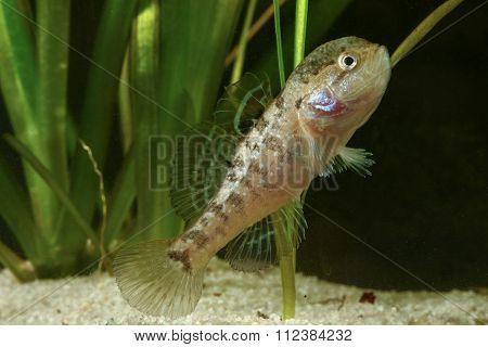 Male Of Chinese Sleeper Fish, Perccottus Gleni