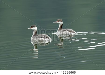 Horned Grebes Swimming.