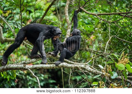 Bonobo (pan Paniscus) On A Tree Branch.