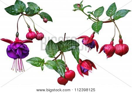 Fuchsia Flower Set