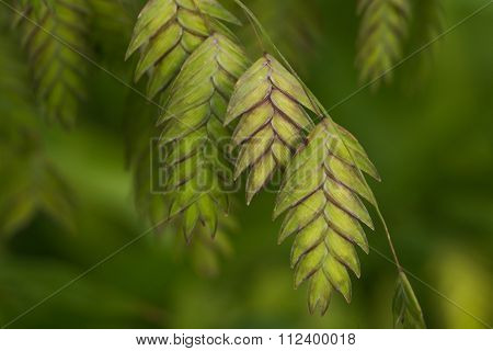 Northern Sea Oats (chasmanthium Latifolium) Ornamental Grass