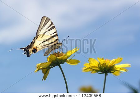 Beautiful Giant Swallowtail Butterfly On Yellow Flowers Against The Blue Sky