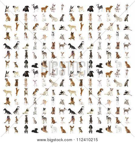 Large group of dog breeds, isolated on white