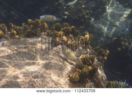 Parrotfishes in Indian Ocean near Seychelles.